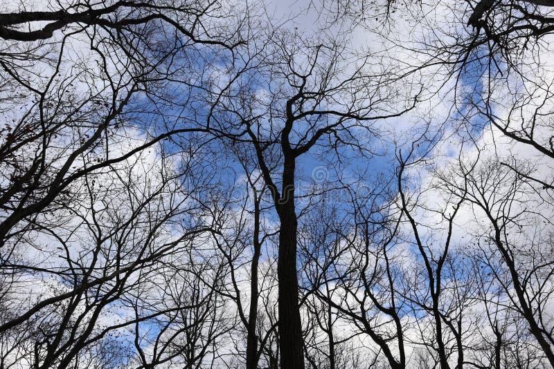 反对蓝色多云天空,看法的光秃的树从下面 免版税库存图片