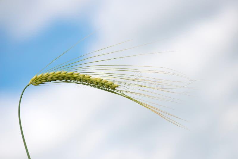 反对蓝色春天天空的唯一绿色大麦植物 大麦五谷为面粉,大麦面包,大麦啤酒,一些威士忌酒,一些使用 免版税库存照片