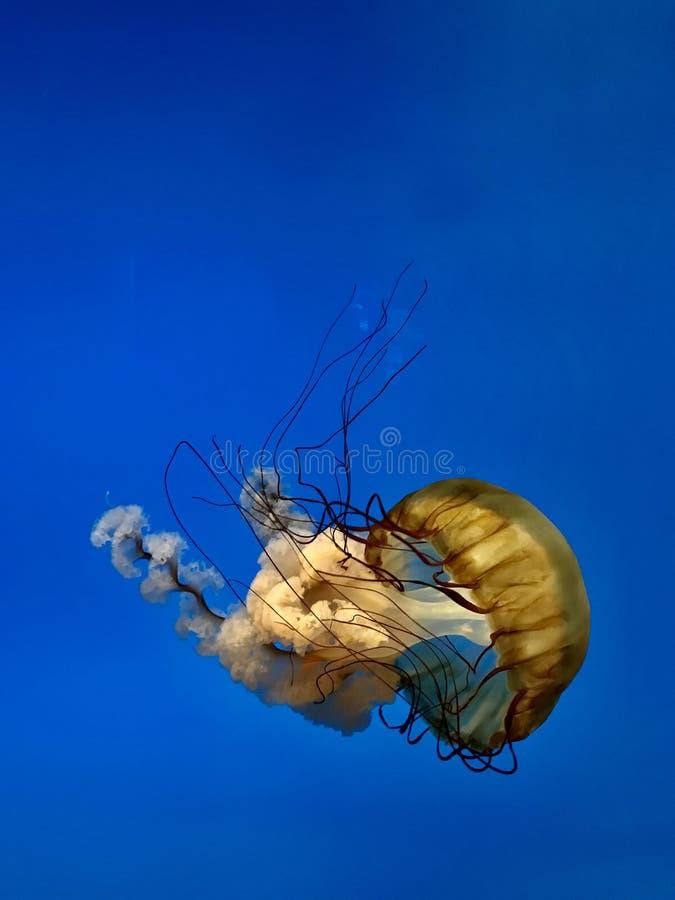 反对蓝色海洋背景的和平的海荨麻水母 库存照片