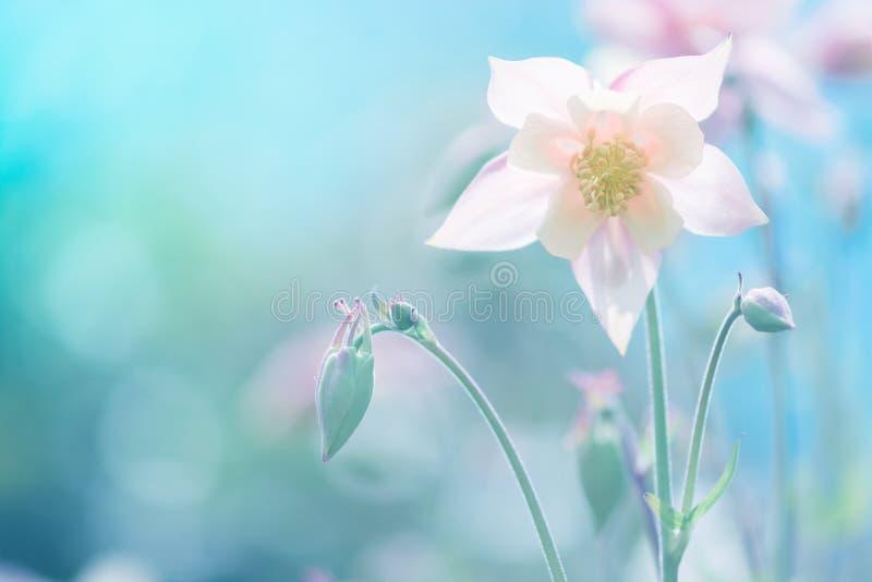 反对蓝色背景的精美Aquilegia花桃红色 软的选择聚焦 户外花的艺术性的图象 库存图片