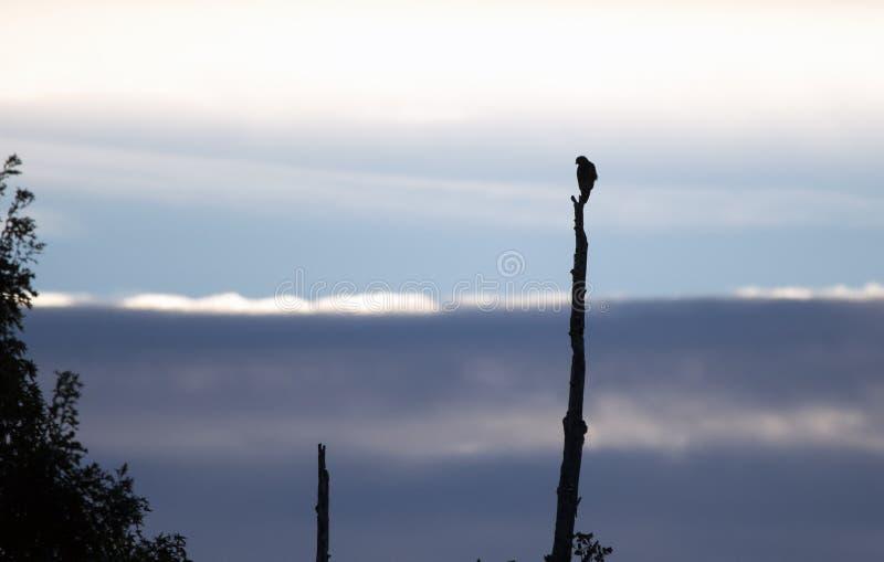 反对蓝色黎明日出的鹰剪影 库存图片