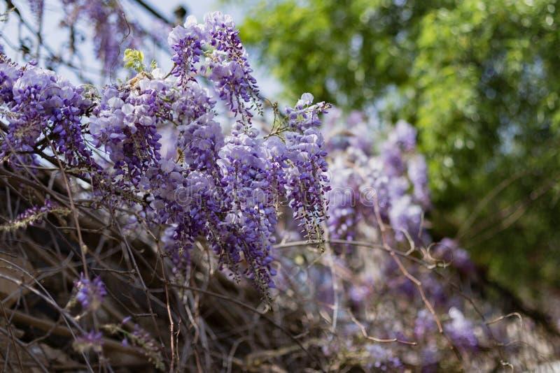 反对被弄脏的树叶子的紫藤开花 免版税库存照片