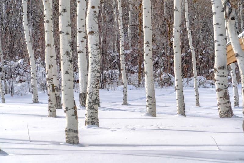 反对被日光照射了雪的震动白杨在帕克 免版税库存图片