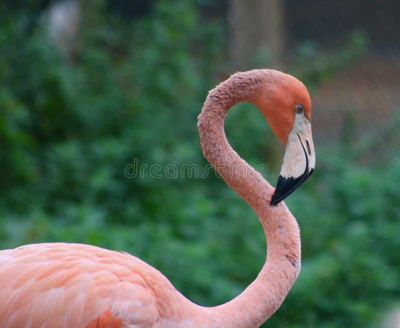 反对软的绿色背景影像的桃红色火鸟 库存照片