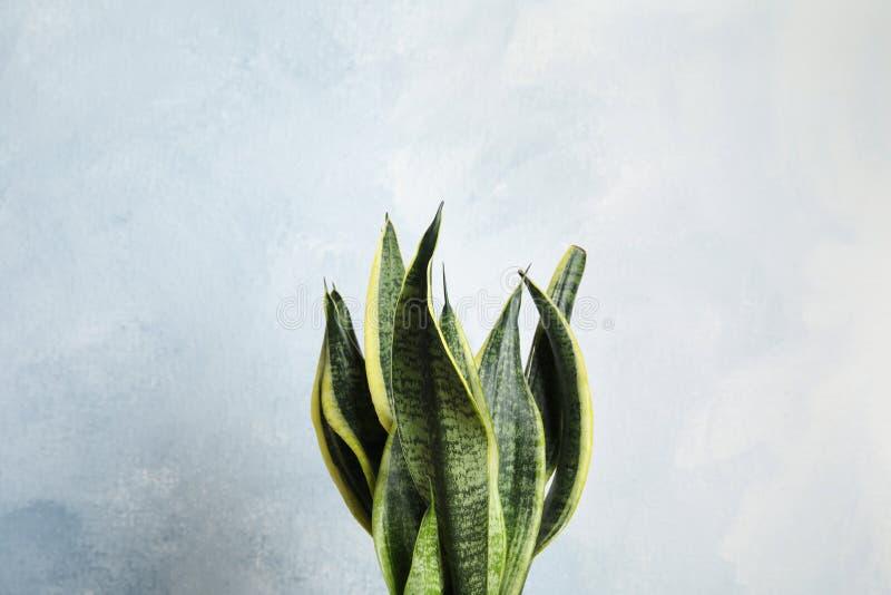 反对轻的背景的美丽的百合科植物植物 库存图片