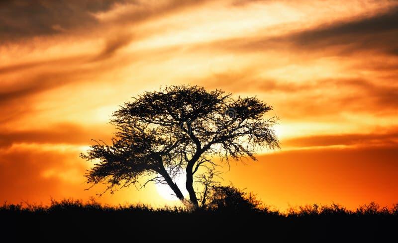 反对金合欢树的日落在非洲平原 免版税图库摄影