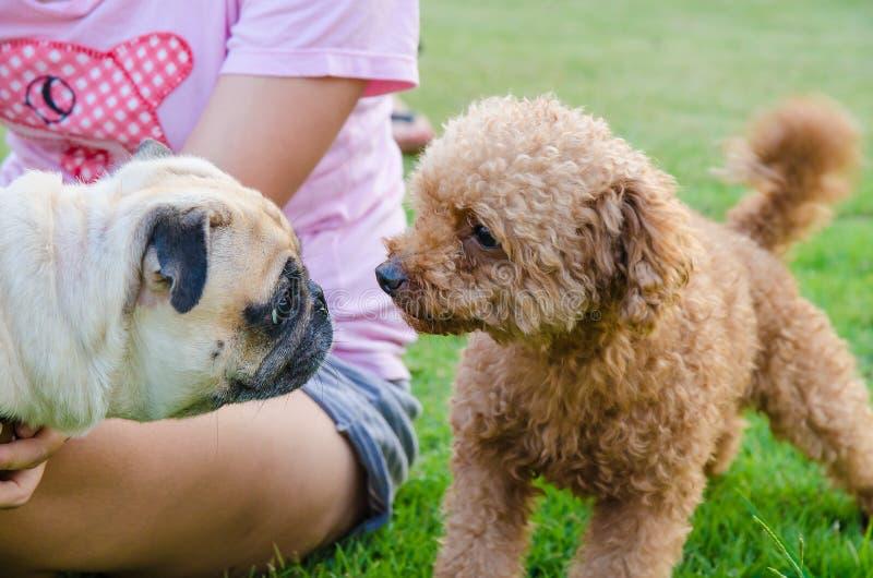 反对长卷毛狗的逗人喜爱的狗小狗哈巴狗在绿色领域 免版税库存照片