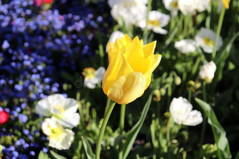 反对青绿的背景的黄色郁金香花 图库摄影