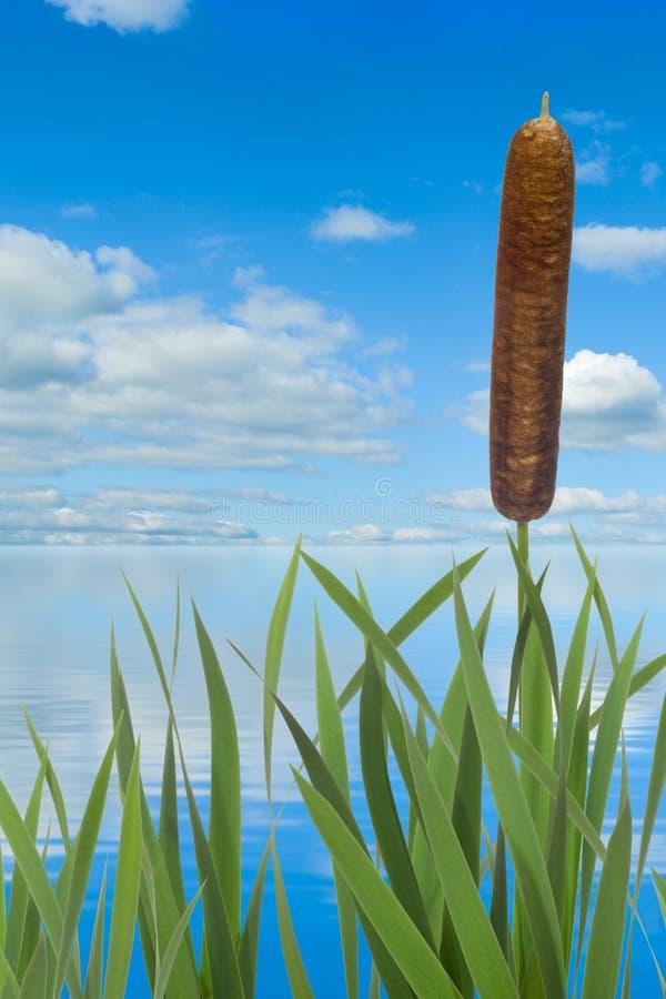 反对水和天空背景的芦苇 库存图片
