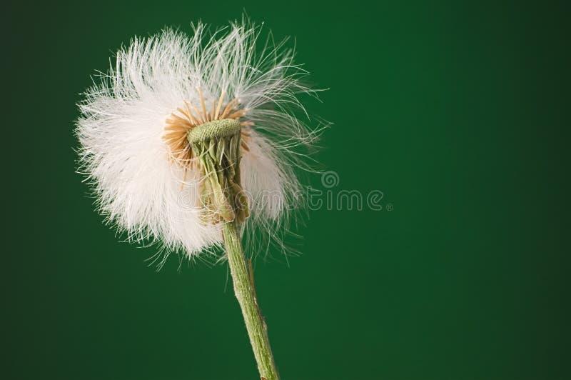 反对黑暗的gree的半盛开的白色松的蒲公英种子头 免版税库存图片