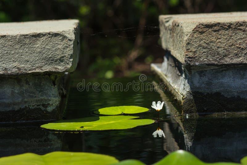 反射在睡莲叶中的小浪端的白色泡沫百合 免版税库存照片