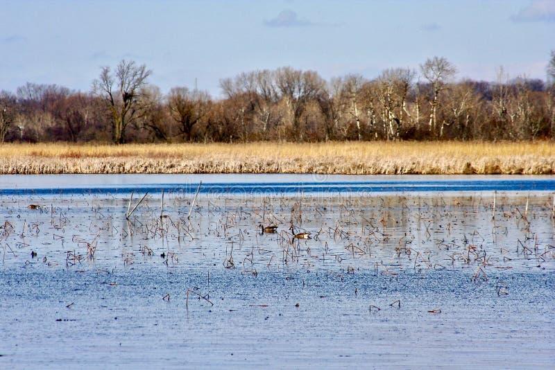 反射性湖和沼泽地有草、芦苇和树的在背景中 与顶上的云彩的蓝天 免版税库存照片