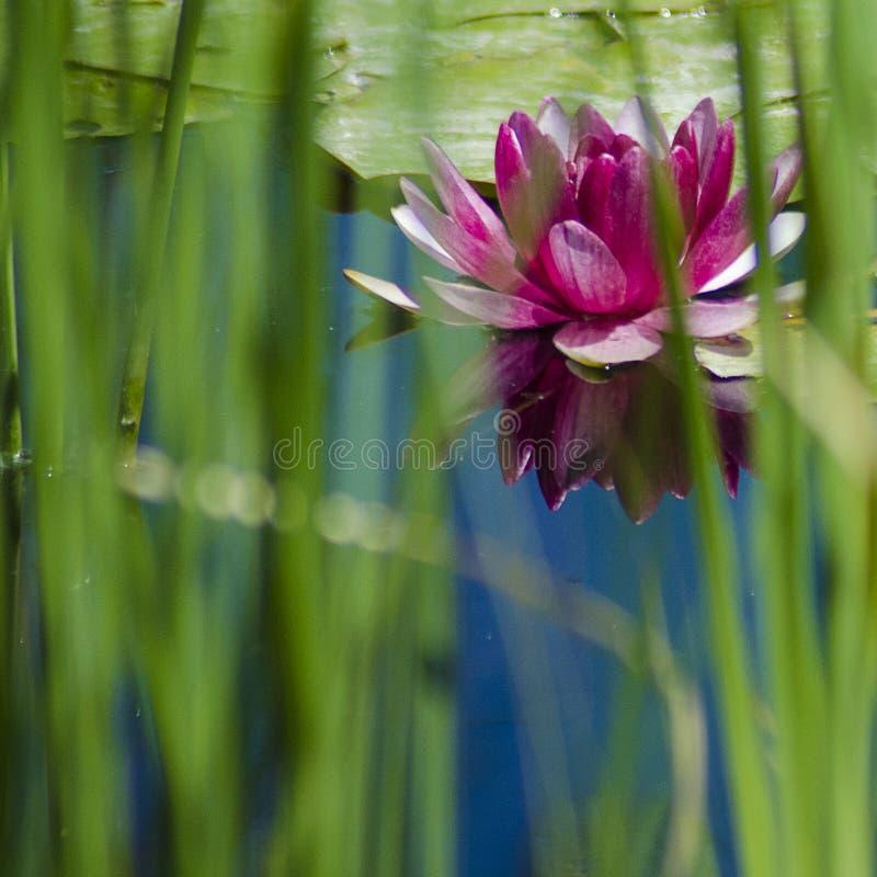 反射通过芦苇被瞥见的水的表面的桃红色荷花绽放 库存图片