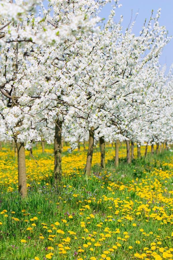反弹在美丽的芽花果树园树开花 免版税库存图片
