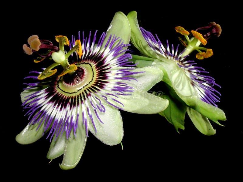 Download 反映的激情 库存照片. 图片 包括有 生活, 仍然, 华丽, 装饰, 绿色, 颜色, 紫色, budd, 叶子 - 64570