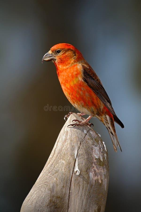 反诉状,斜颈curvirostra,红色歌手坐树干,动物在自然栖所,德国 库存图片