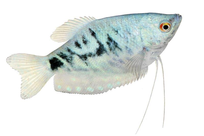 发乳吻口鱼Trichopodus trichopterus热带水族馆鱼 免版税图库摄影