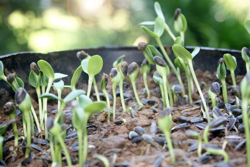 发光与种子的太阳发芽 库存图片