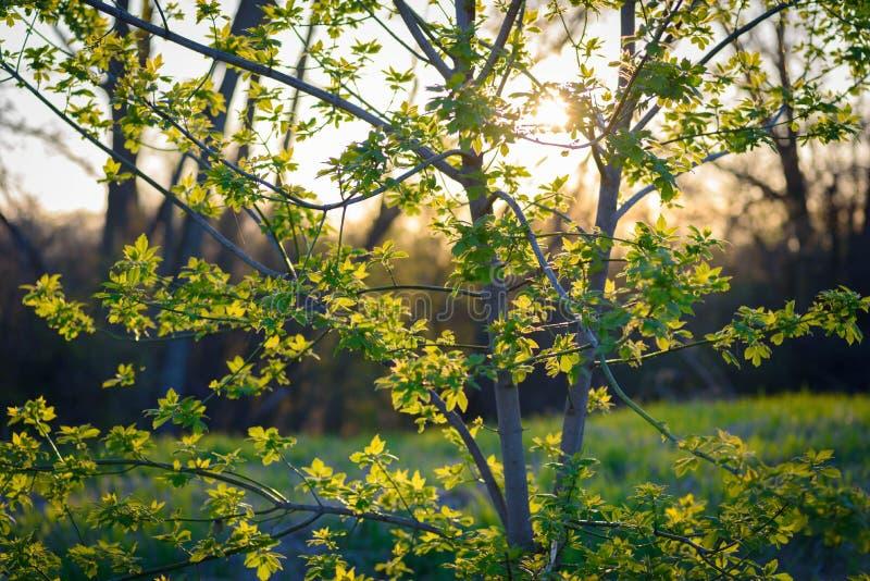 树苗树发芽叶子在春天阳光下 照片拍摄时间: may 06th, 2018