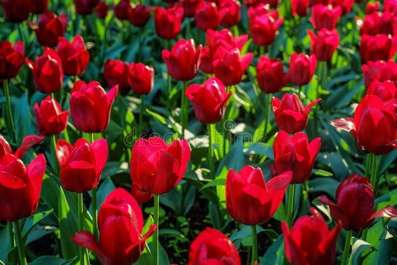 发光在背后照明的红色郁金香在晴朗的早晨 免版税库存图片