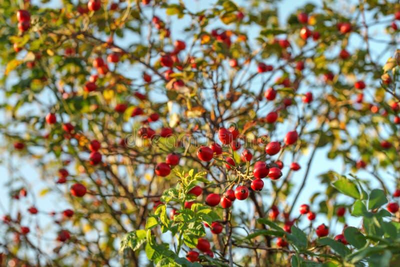 发光在野玫瑰果灌木罗莎canina,天空蔚蓝的太阳在背景中 图库摄影