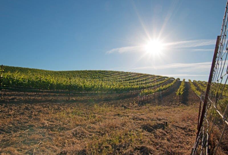 发光在Paso罗夫莱斯葡萄园的清早太阳在加利福尼亚美国中央谷地  库存照片