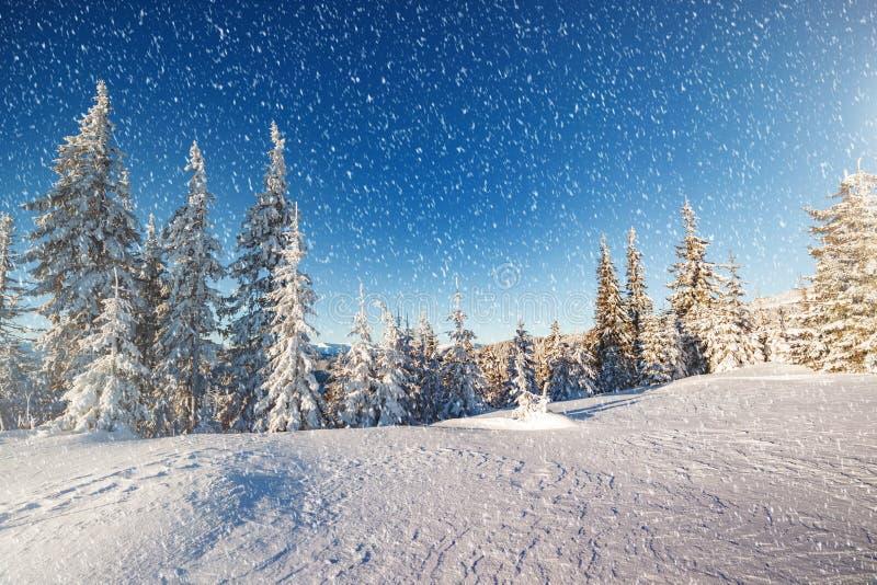 发光由阳光的庄严冬天树 地点地方Carpat 免版税库存照片