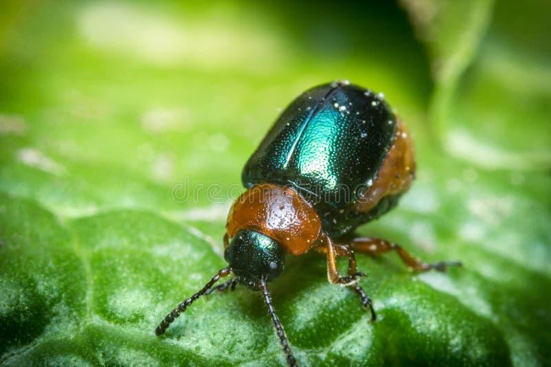 发光的叶子甲虫 库存照片