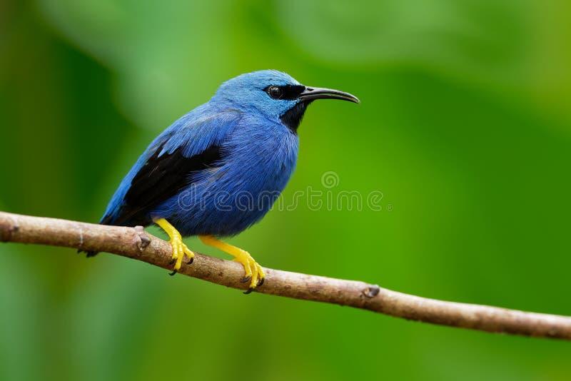 发光的在唐纳雀家庭的Honeycreeper - Cyanerpes lucidus小鸟 免版税库存图片