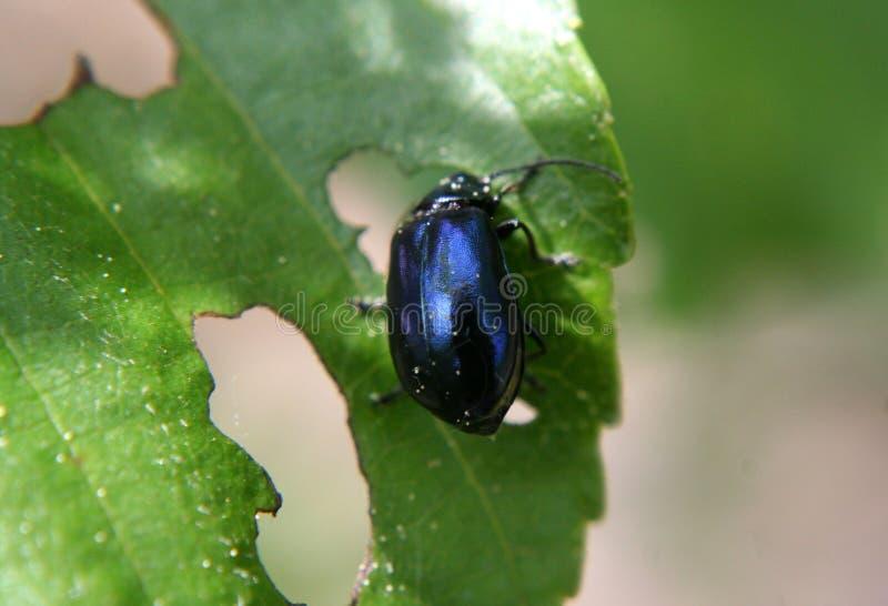 发光的甲虫 图库摄影