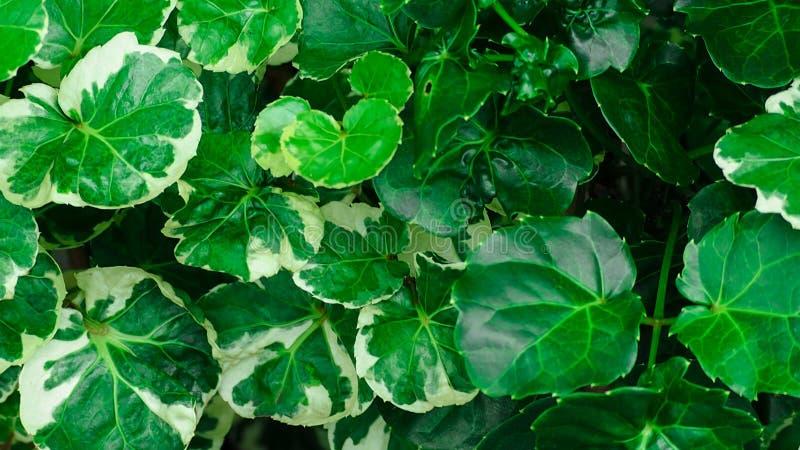 发光的绿色留下纹理背景 绿色叶子以热带深绿色离开与美好的样式在有机的密林 库存照片