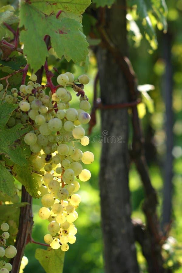 发光的葡萄 库存图片