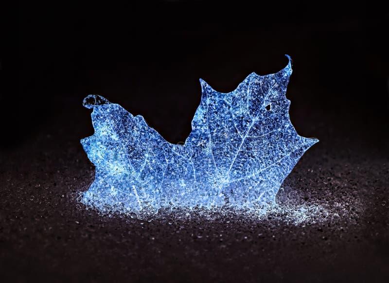 发光的蓝色结冰的枫叶 免版税库存图片
