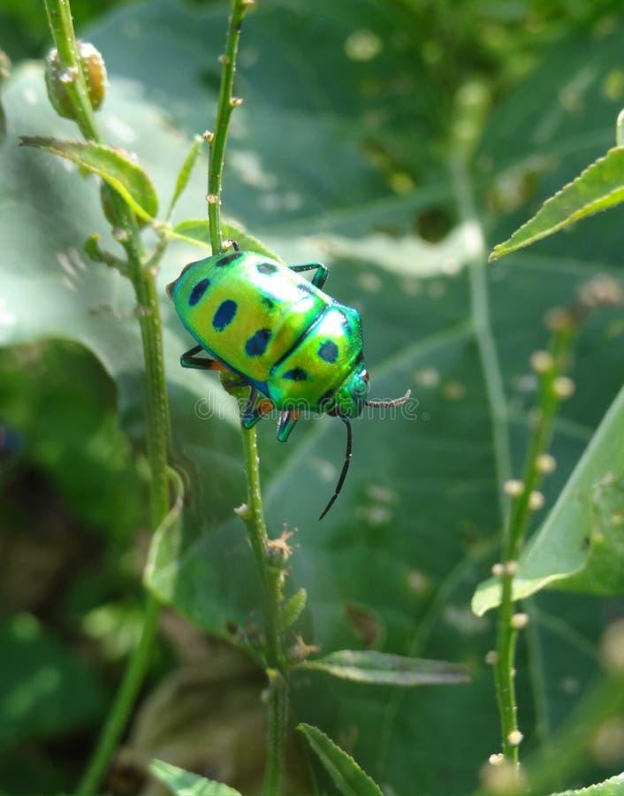 发光的鲜绿色甲虫 免版税库存图片