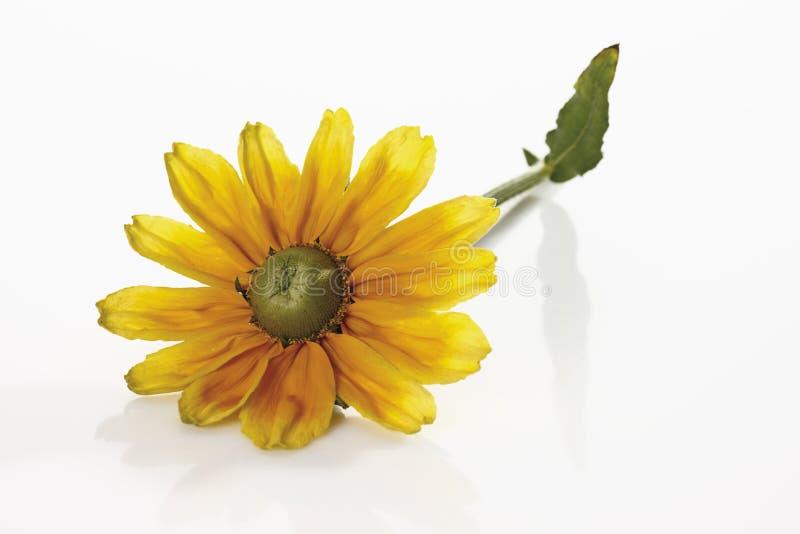 发光的Coneflower (黄金菊nitida) 免版税库存照片