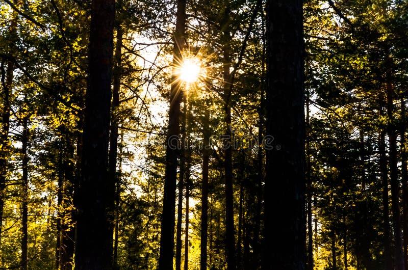 发光神秘主义者的光束通过林木 免版税图库摄影