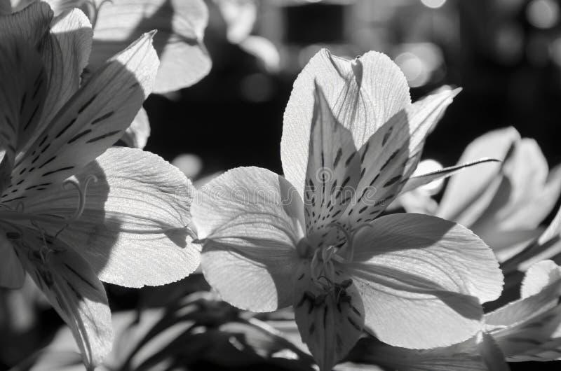 发光通过一个黄色黄花菜的瓣的黑白阳光从做它焕发的后面 免版税库存照片