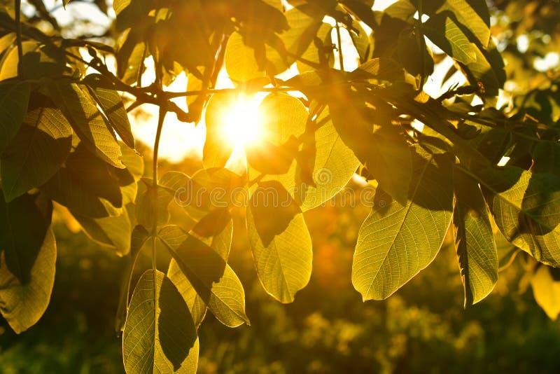 发光通过叶子的太阳焕发 免版税库存图片