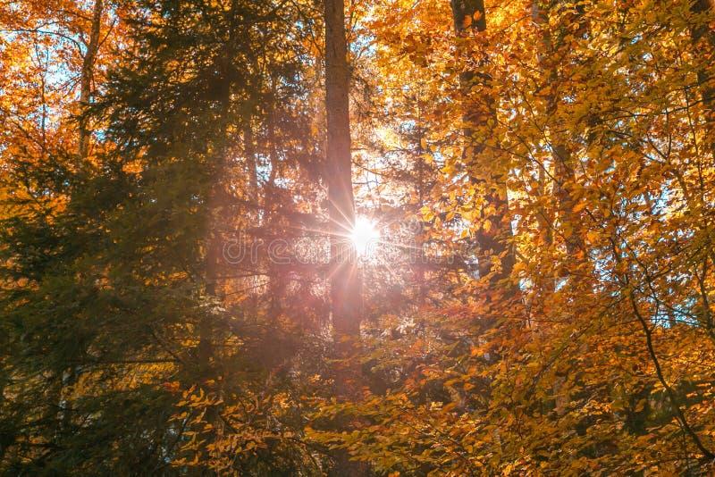 发光通过林木叶子的太阳在秋天 图库摄影