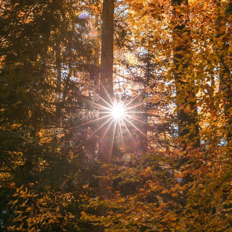 发光通过林木叶子的太阳在秋天 库存照片