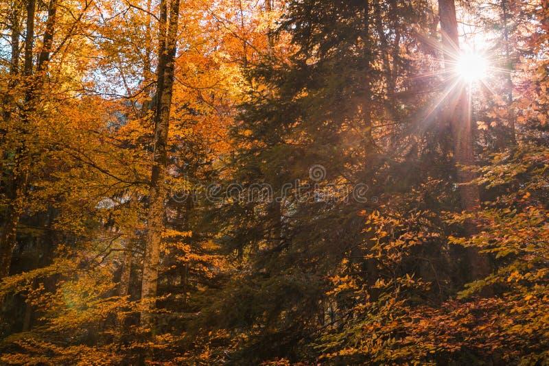 发光通过林木叶子的太阳在秋天 库存图片