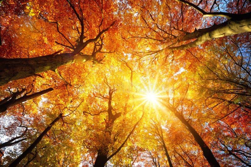 发光通过树木天棚的秋天太阳 图库摄影