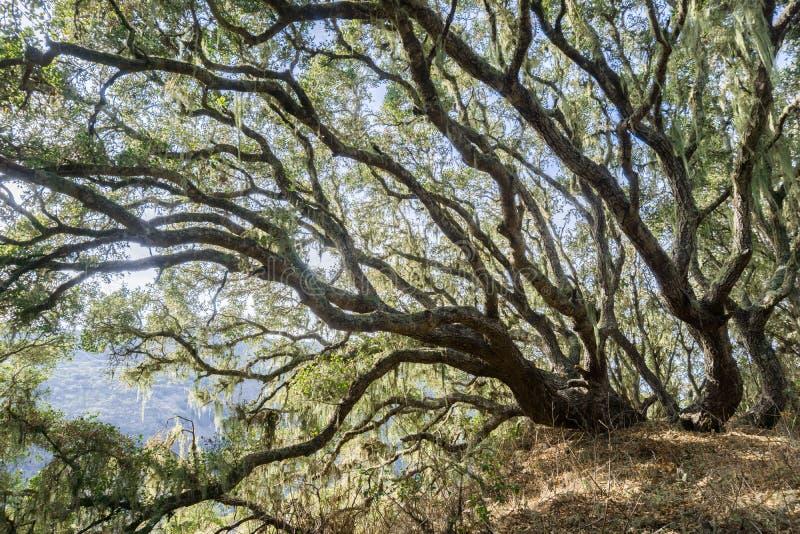 发光通过森林的明亮的光沿海小橡树(栎属agrifolia),垂悬从的鞋带地衣(Ramalina menziesii) 免版税库存照片