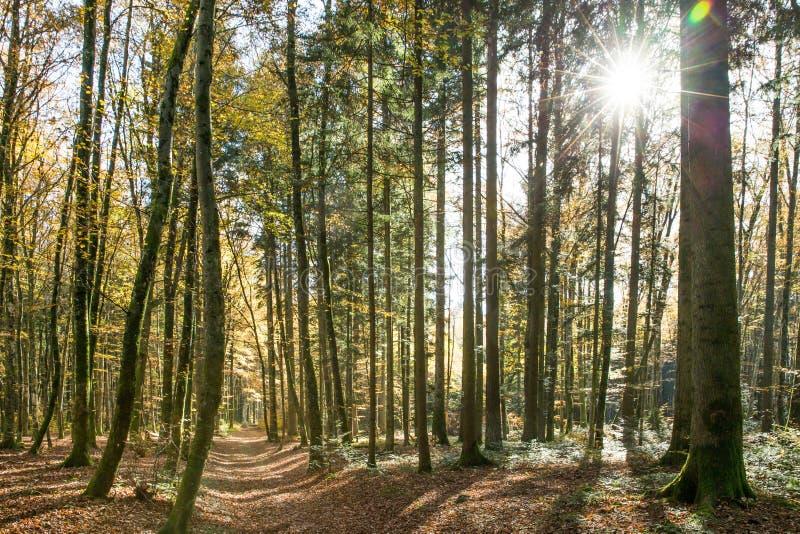 发光通过瑞士林木的太阳在一个晴朗的春日 库存图片