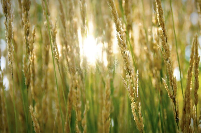 发光通过草的太阳 免版税库存照片
