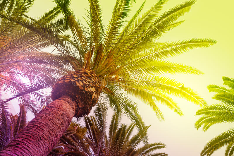发光通过高棕榈树的太阳 免版税图库摄影