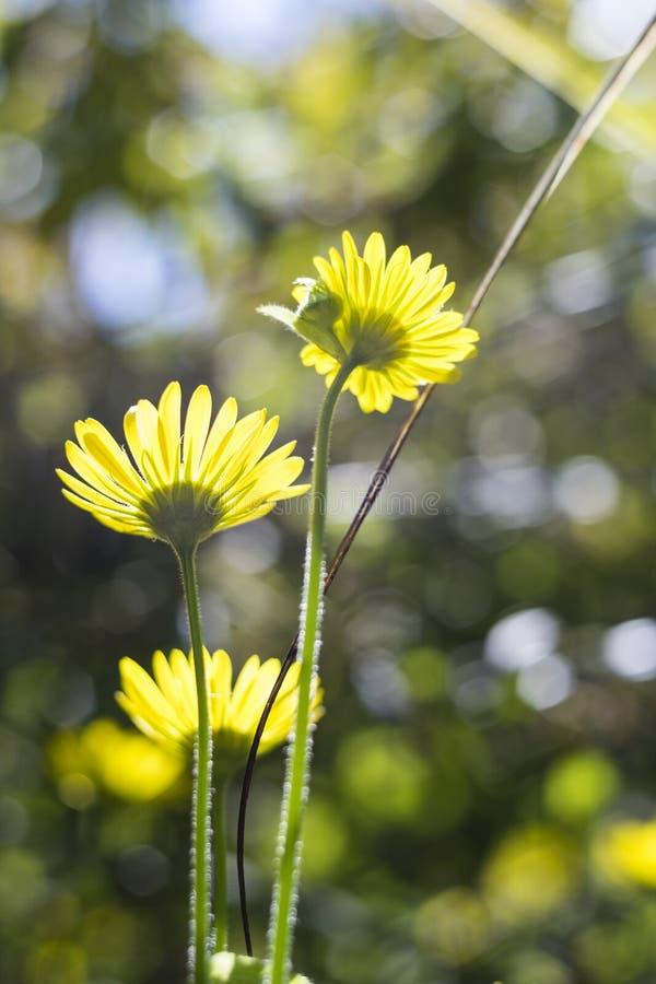 Download 发光通过黄色花的太阳 库存图片. 图片 包括有 发光, 夏天, 虚拟, 通过, 背包, 相当, backarrow - 72353589