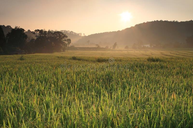 发出光线与露水的光感人的露台的米领域 库存照片