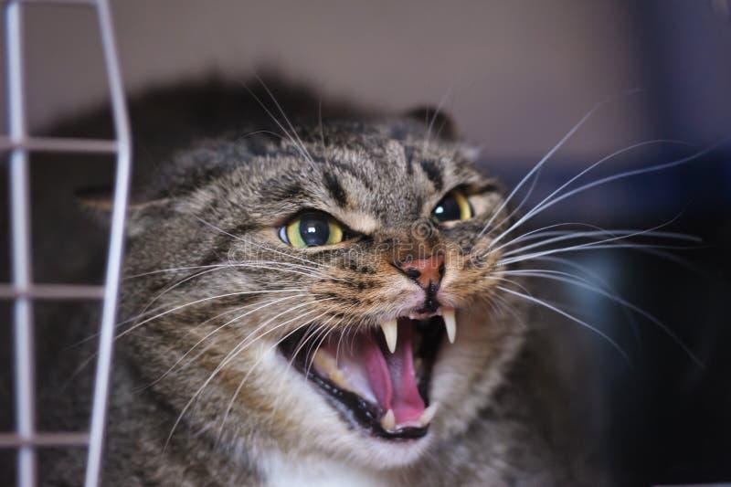 发出嘘声的猫 免版税库存照片