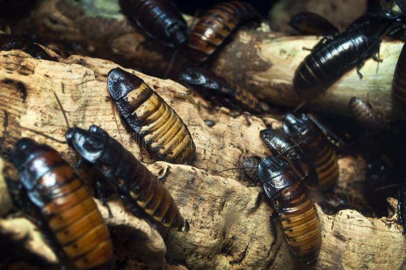 发出嘘声的蟑螂 免版税图库摄影